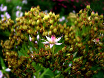 单朵秀美的粉花绣线菊