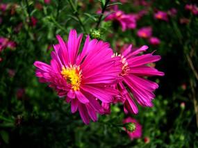风吹了紫菊花