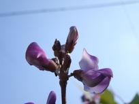好看的豌豆花