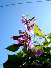 空中的豌豆花