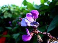 亮的耀眼的豌豆花