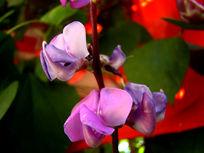 两朵秀丽的豌豆花