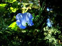 绿叶里的蓝色喇叭花
