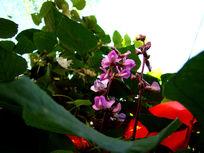 绿叶陪衬的豌豆花