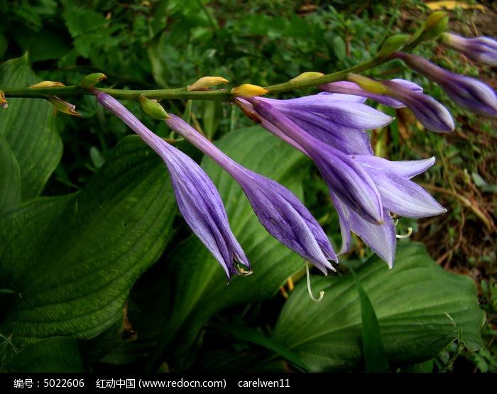 紫萼作文图片
