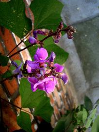美丽的豌豆花