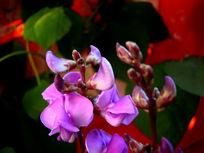 柔媚的紫豌豆花