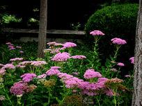 树边的粉花绣线菊