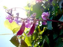 豌豆和豌豆花