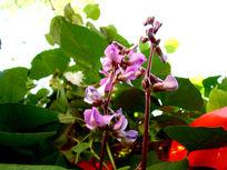 豌豆花正开的季节