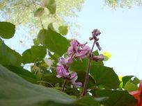 无争的豌豆花