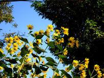 一簇超大向阳的洋羌花