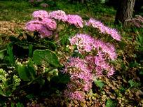 一大簇粉花绣线菊