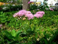 一朵漂亮粉花绣线菊