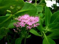 一朵幼嫩的粉花绣线菊