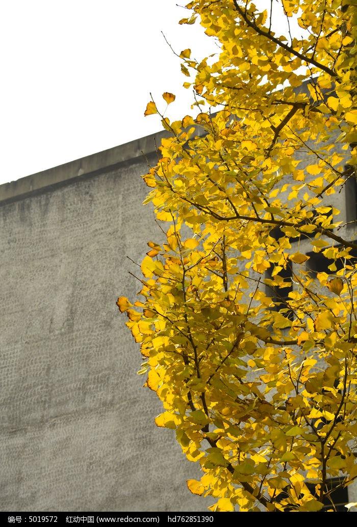 银杏叶子图片