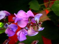 紫的漂亮的豌豆花