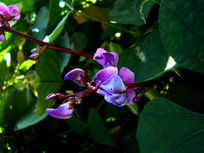紫色豌豆花