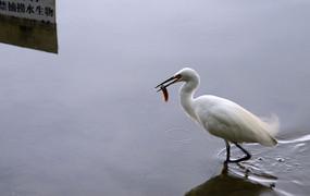 吃泥鳅的白鹭鸟