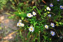 草丛中盛开的雏菊