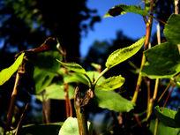 长在嫩枝上的嫩树芽