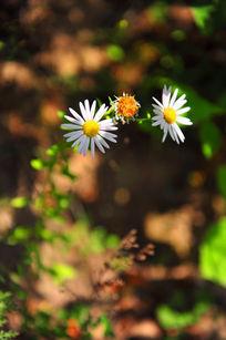 雏菊盛开在阳光下