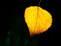 淡黄色干叶