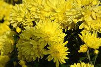 金黄的菊花