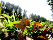 绿草中的黄叶