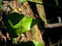 绿叶沐浴在阳光里
