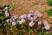 沙砾中的野花