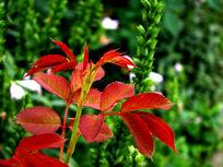 优美的红色叶子