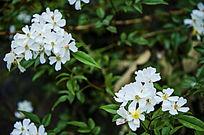 白色一簇簇的花朵