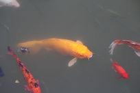 好大的黄色锦鲤