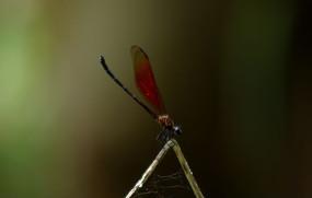 枯枝上的褐翅豆娘