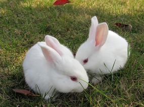 两只小白兔