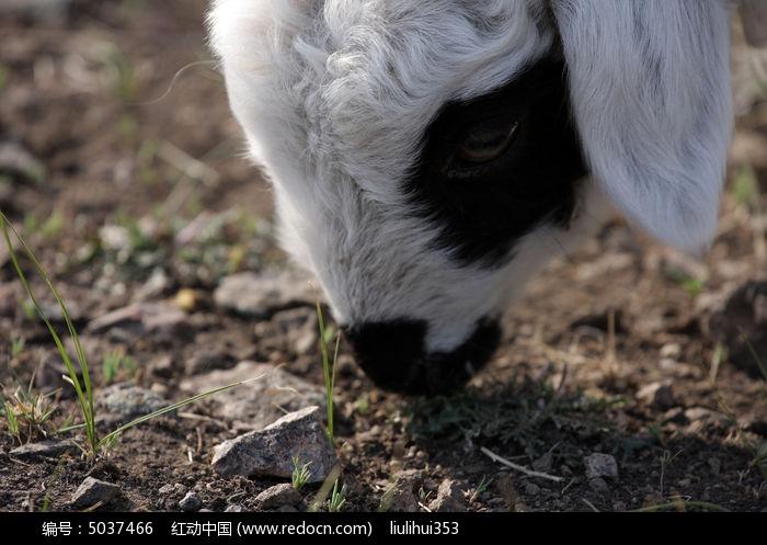 小羊觅食图片