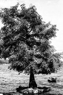 云南洱海湖中树