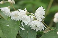 白色的山野小菊花微拍花卉图片