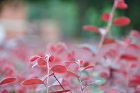 高清红色叶子特写背景图片