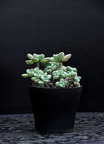 绿色小瓣盆栽
