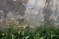 破旧墙面钱的小菊花