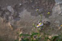 紫色野菊花