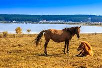 草原的骏马
