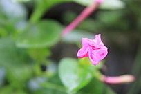 含苞未开放的花朵图片