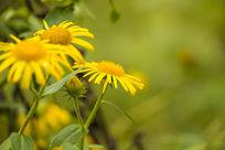 盛开的野菊花