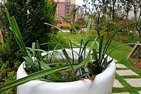 陶瓷花盆中的兰花草