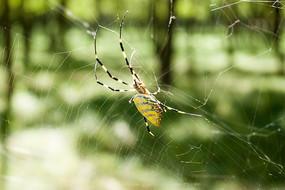 黄色的蜘蛛