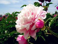 清新粉白牡丹花