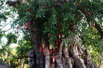 赵家堡的许愿树